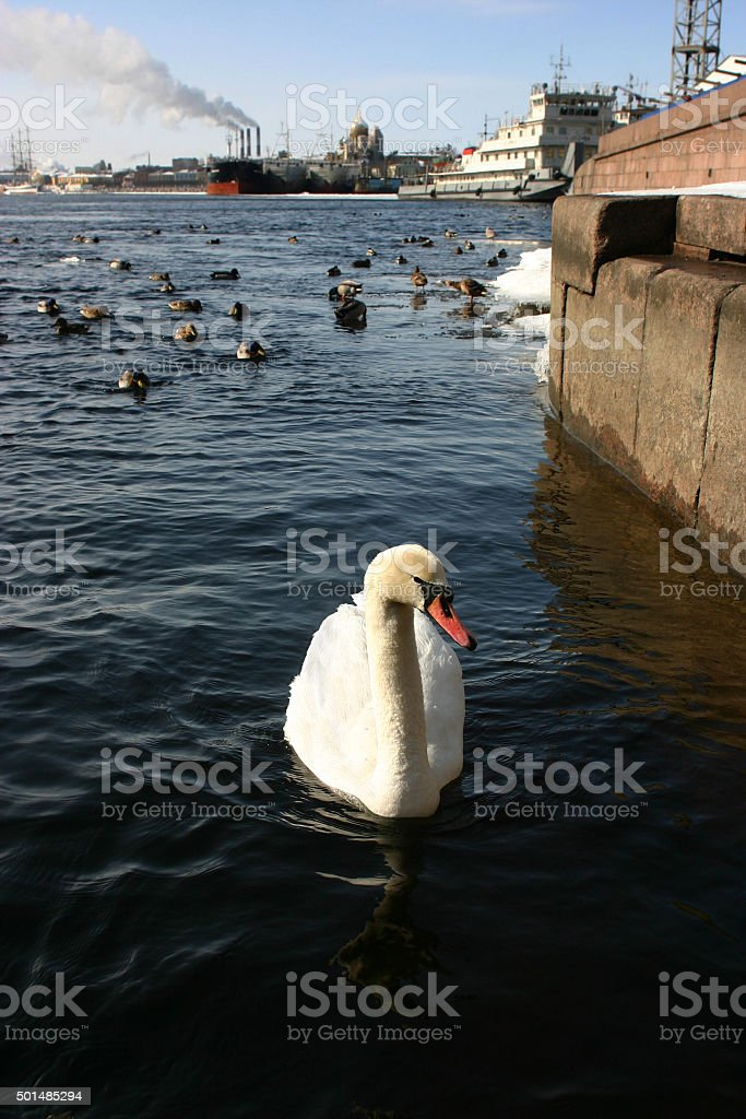 Wild white swan in an urban environment. stock photo