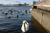 Wild white swan swimming in industrial area
