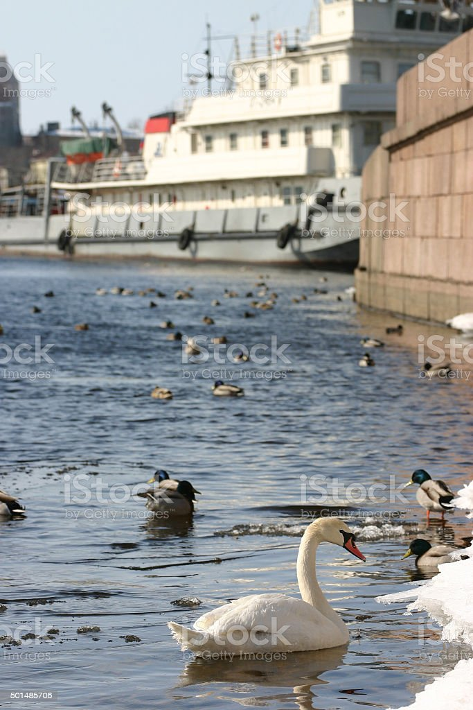 Wild white swan swims in river at center industrial city. stock photo