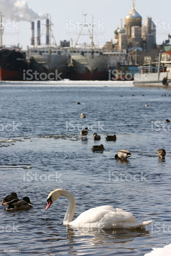 Wild white swan swims in river city, an urban environment. stock photo