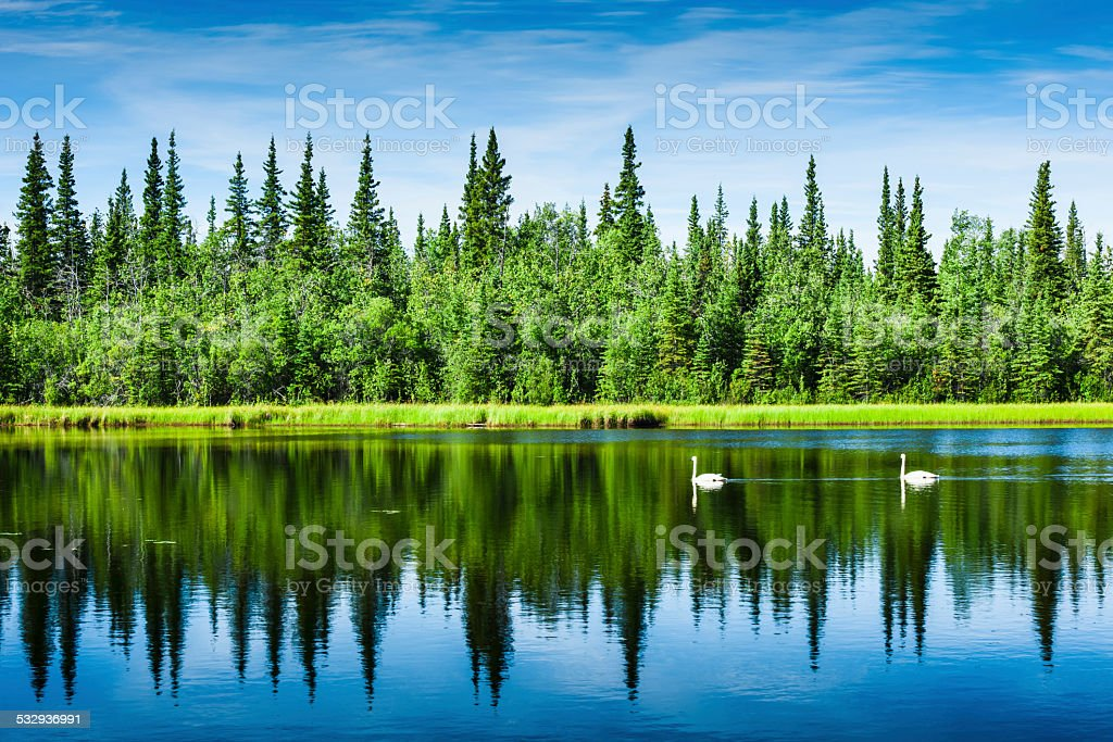 Wild white swans stock photo