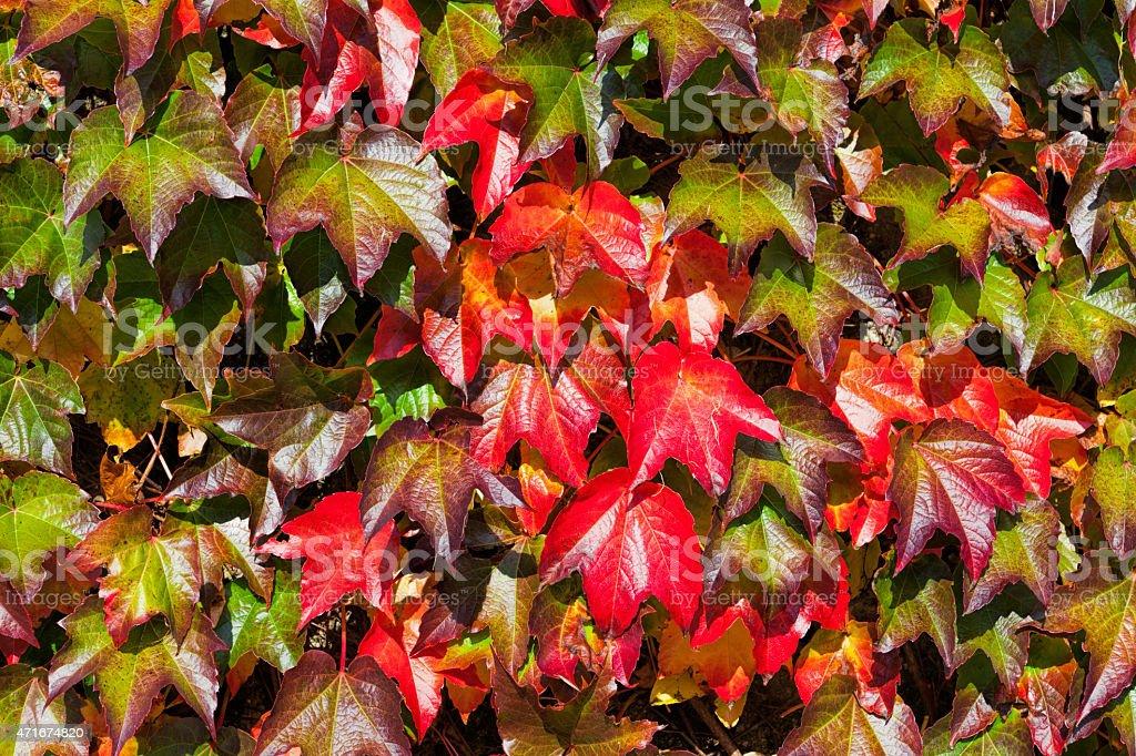 Wild wine leaves stock photo