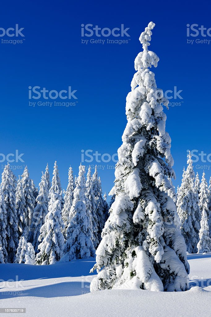 Wild Winter Landscape with spruce tree forest covered by snow royalty-free stock photo
