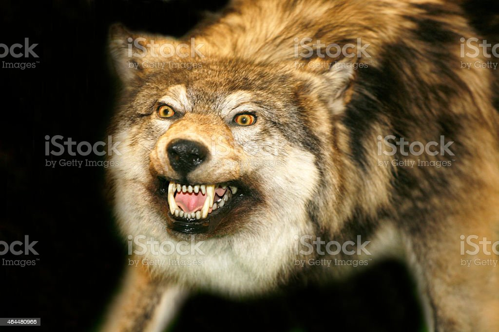 Wild wolf head with open mouth against black background stock photo