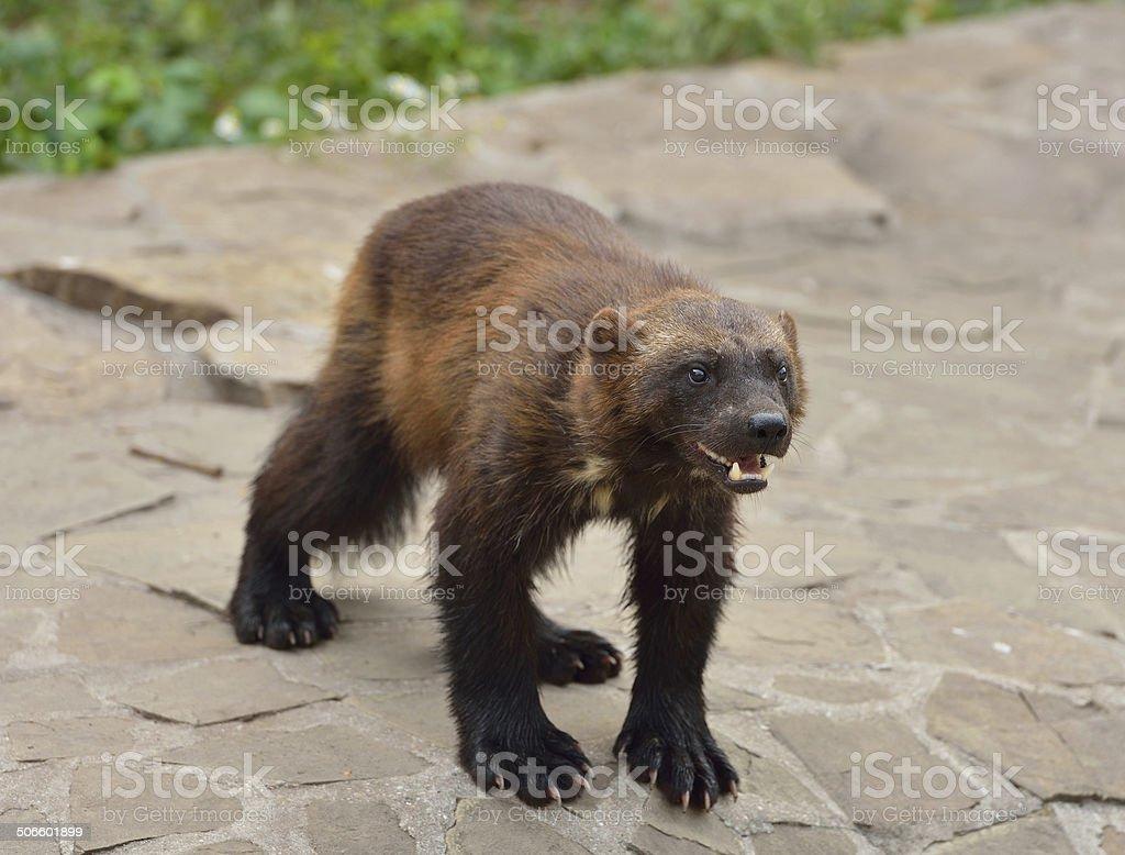 Wild  Wolverine stock photo