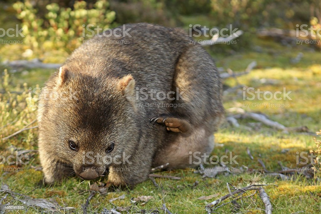 Wild Wombat on the Grass in Cradle National Park Tasmania stock photo