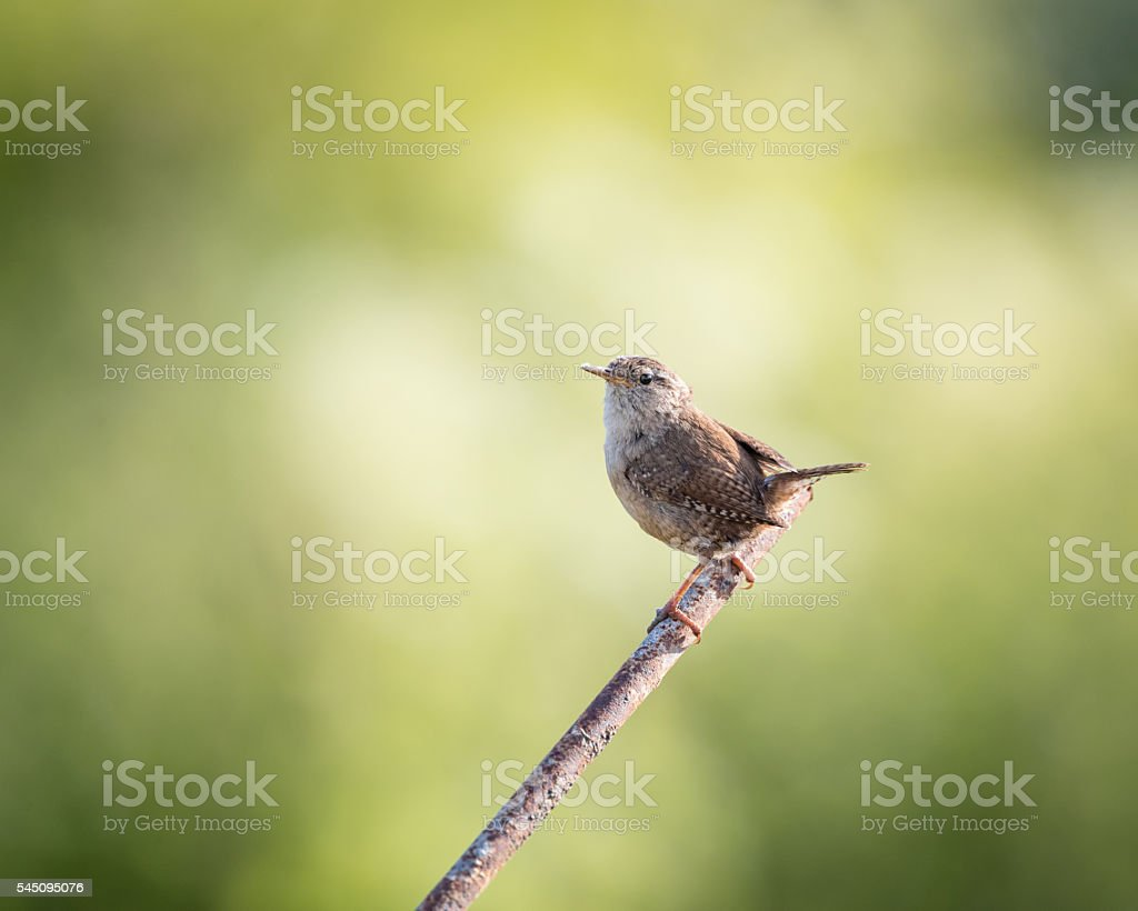 Wild wren set on metal post with green background stock photo