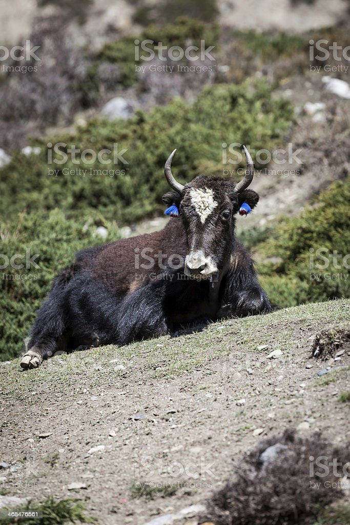 Wild Yak Laying Down on Ground in Annapurnas Region, Nepal royalty-free stock photo