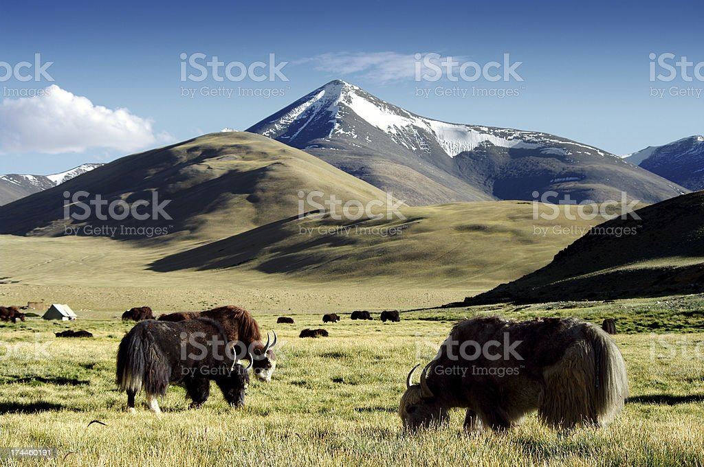 wild yaks royalty-free stock photo