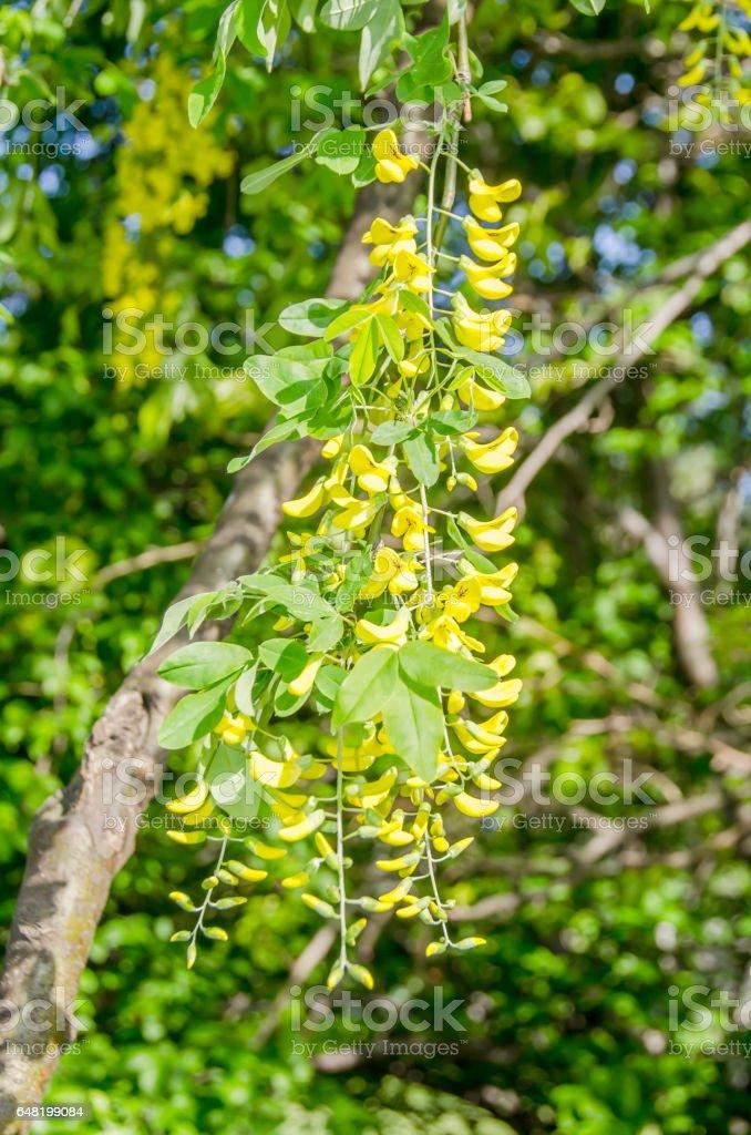 Wild Yellow Black locust, Robinia pseudoacacia flowers stock photo