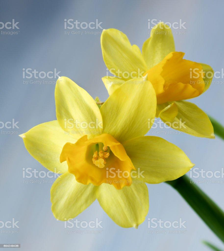Wild Yellow Daffodils stock photo