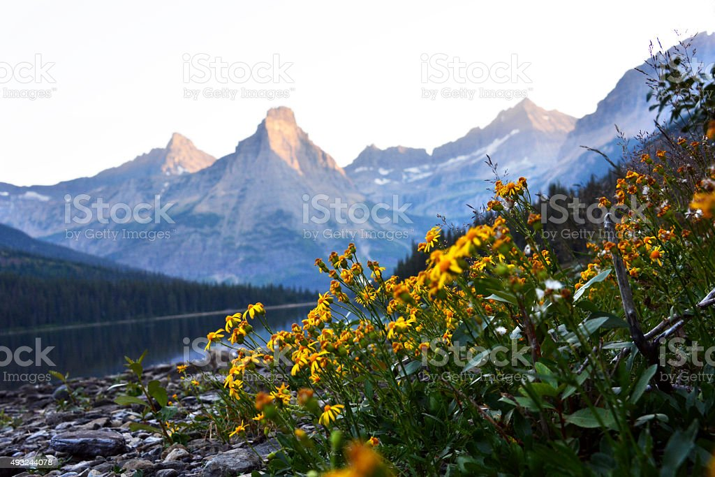 Wild Yellow Daises by the Mountains stock photo