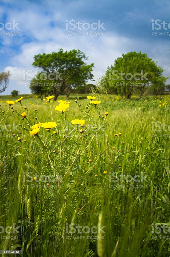Wild Yellow Daisies In Tall Springtime Grass stock photo