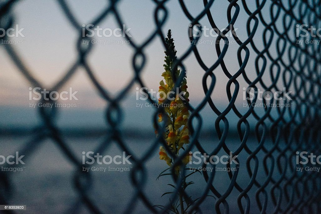 Wild yellow flower behind wire fence stock photo