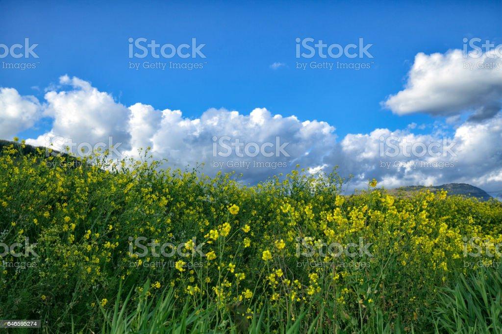 Wild yellow flowers under blue sky,BC, Canada stock photo