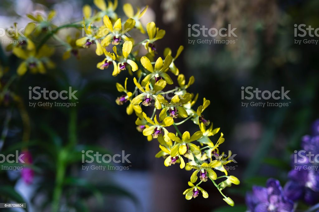 wild yellow orchid blossoms stock photo