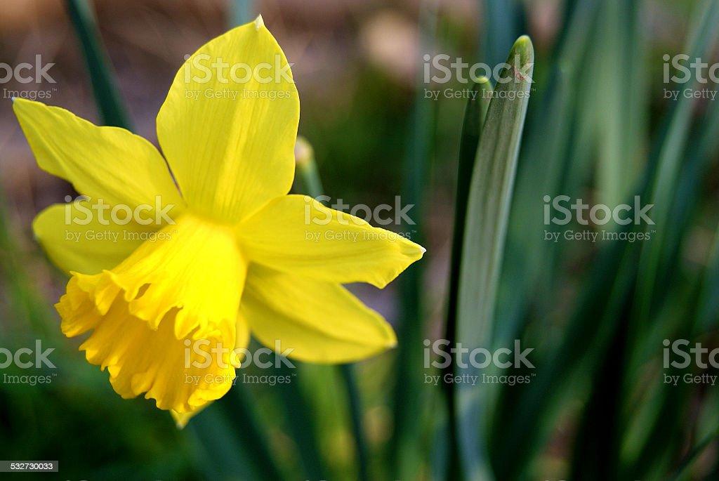 Wild Yellow royalty-free stock photo