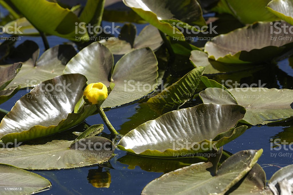 Wild Yellow Water Lily Flower royalty-free stock photo