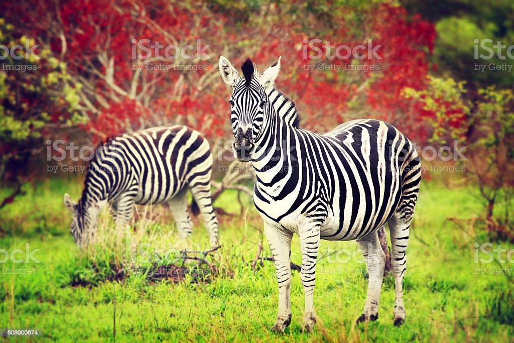 Wild zebras of African continent stock photo