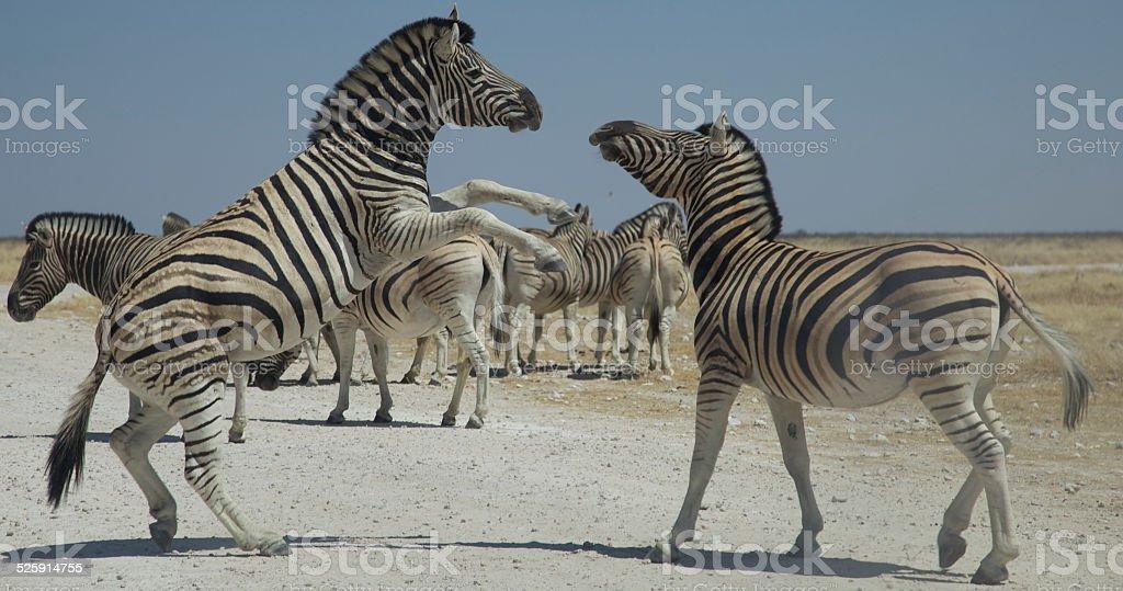 Wild Zebra's royalty-free stock photo