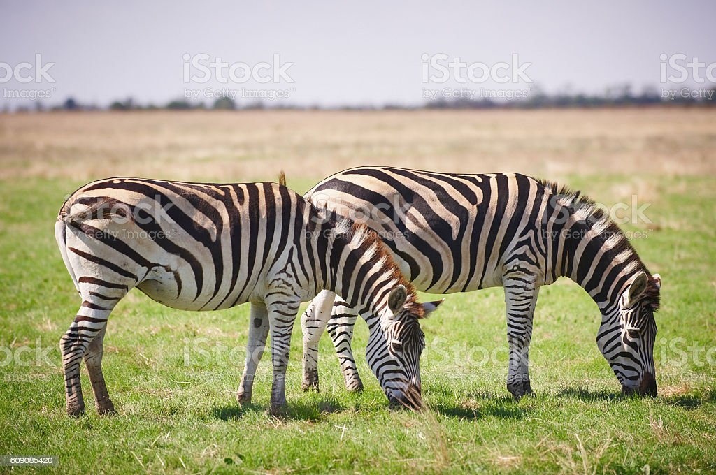 wild zebras stock photo