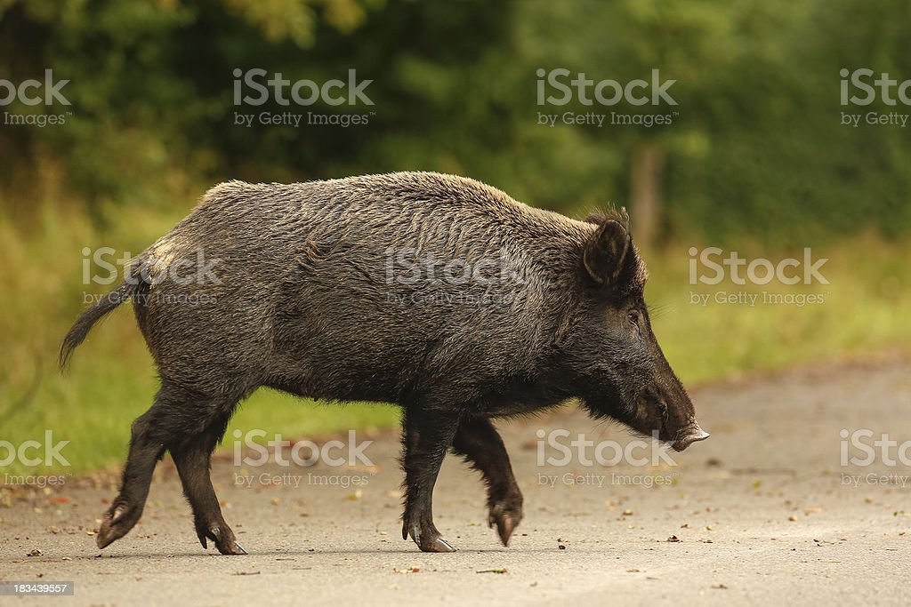 Wildboar crossing main road stock photo