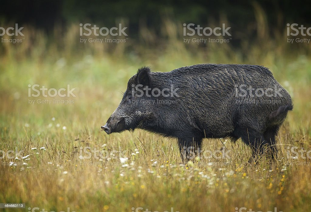 Wildboar in late summer grass stock photo