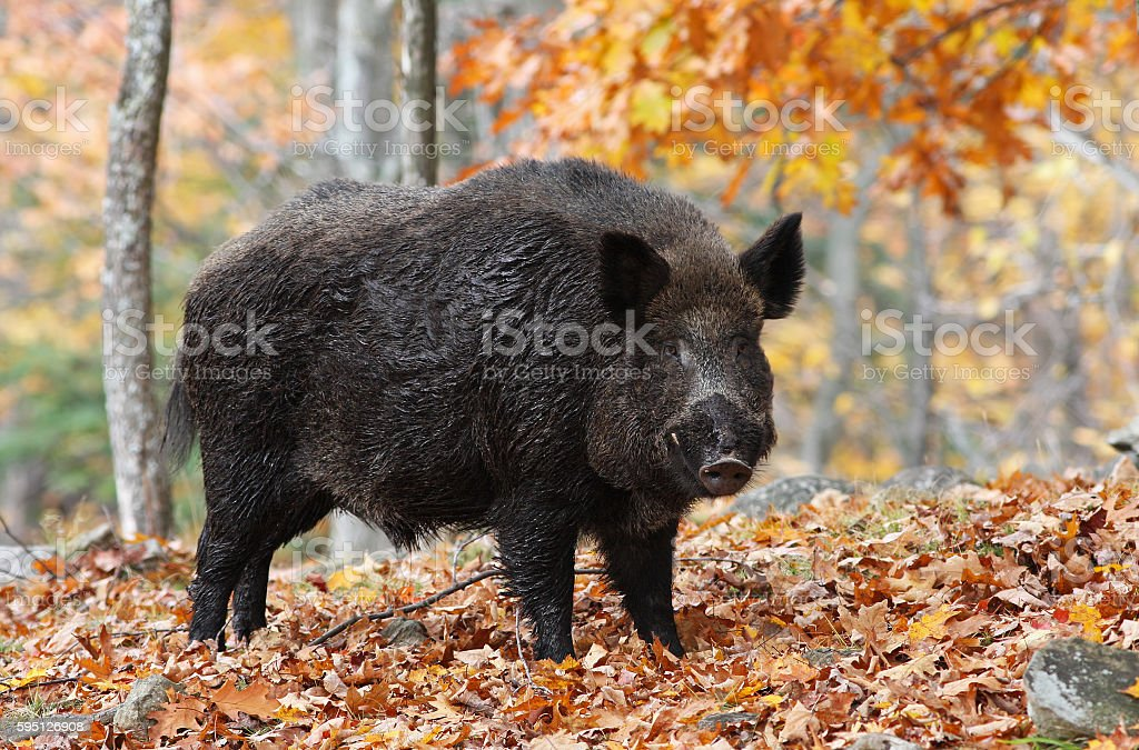 Wild-boar stock photo