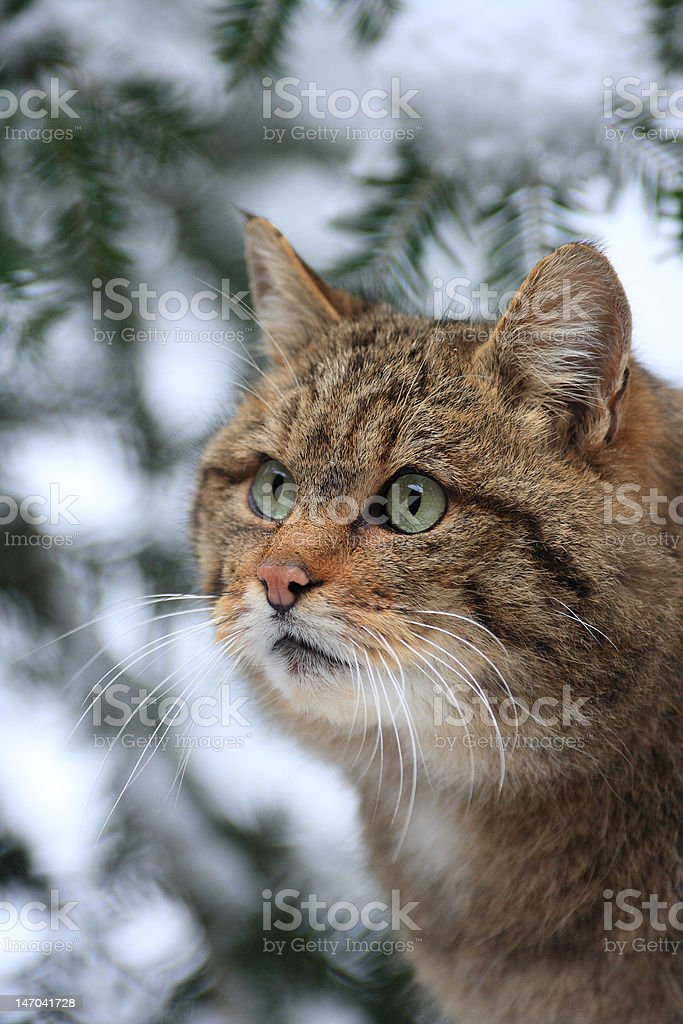 Wildcat in winter-time stock photo