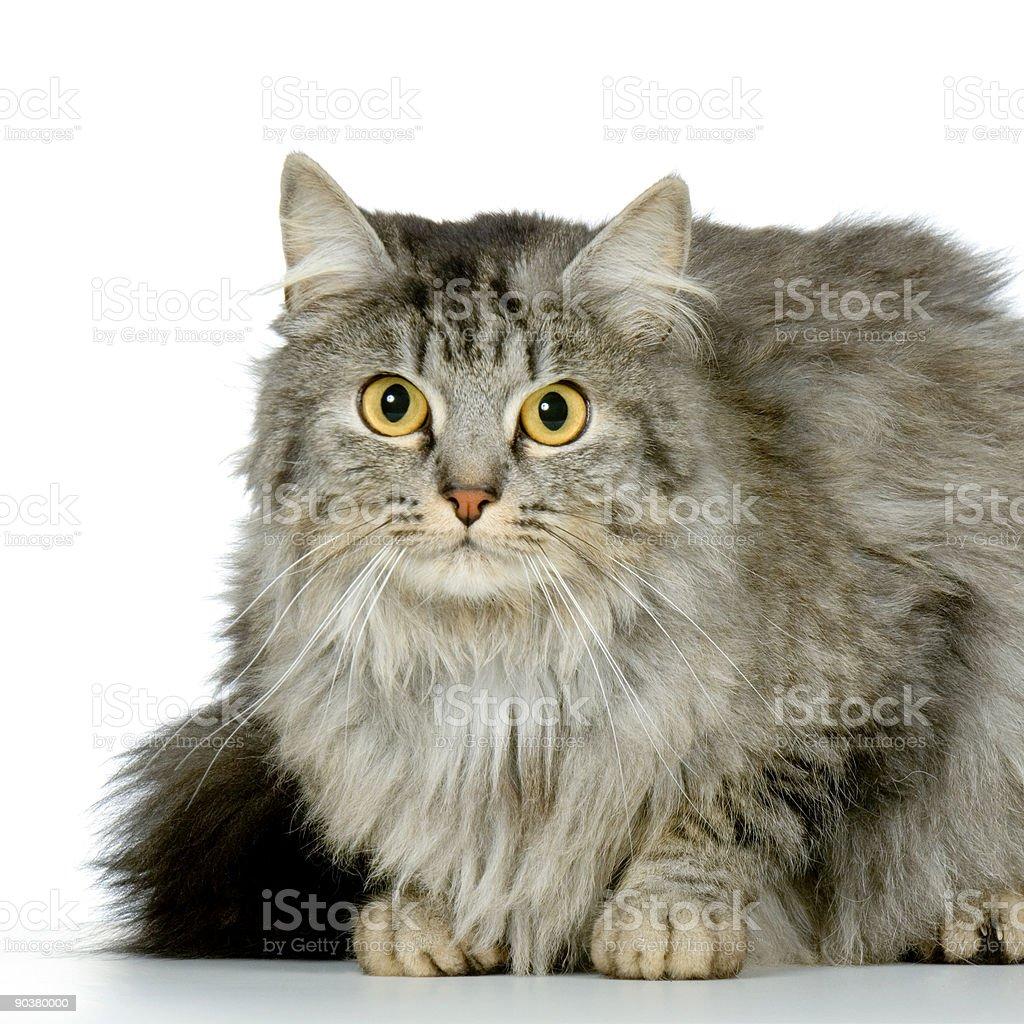 Wildcat stock photo