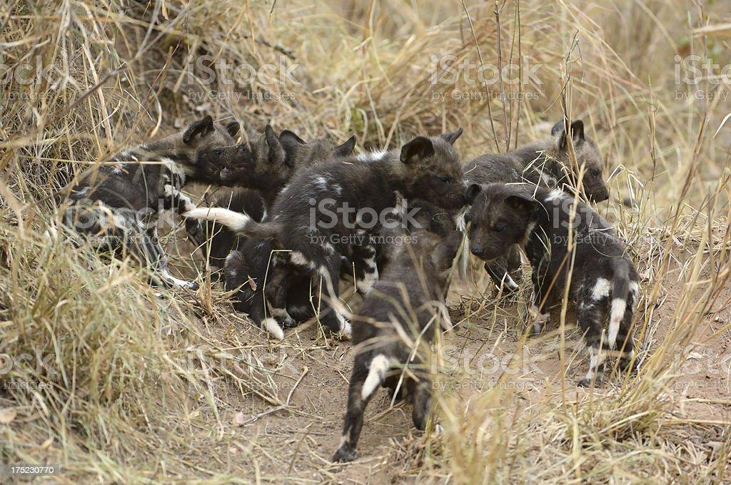 Wilddog puppys playing stock photo