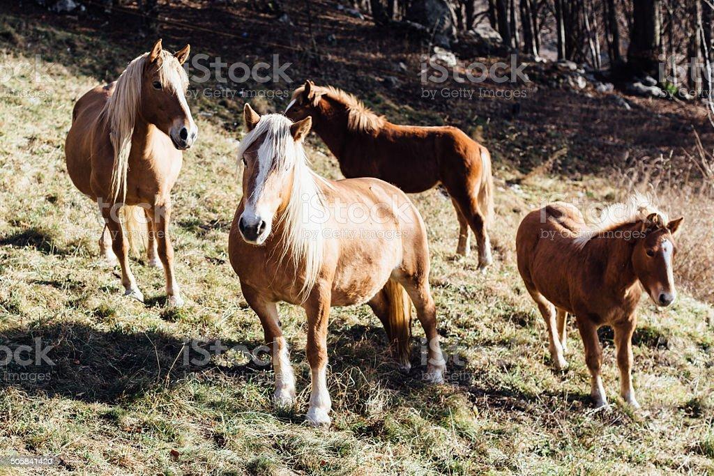 Wilde horses stock photo