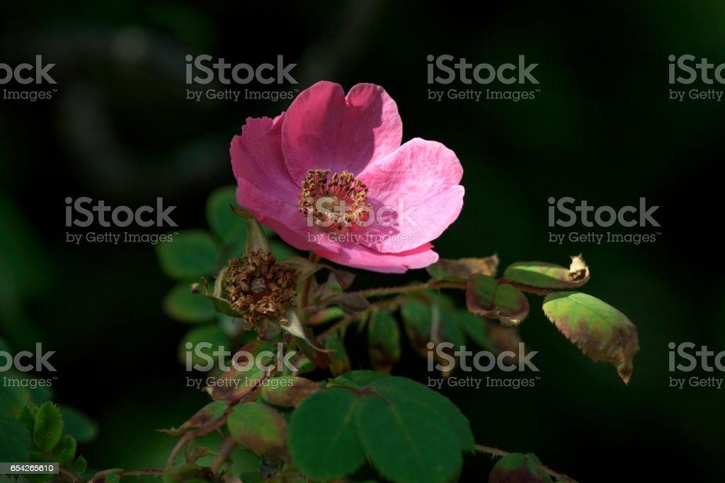 Wilde rose stock photo