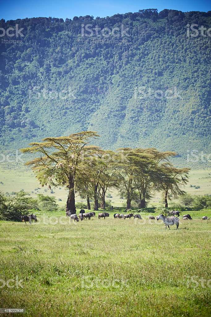 Wildebeast, zebra in the Ngorongoro crater. stock photo