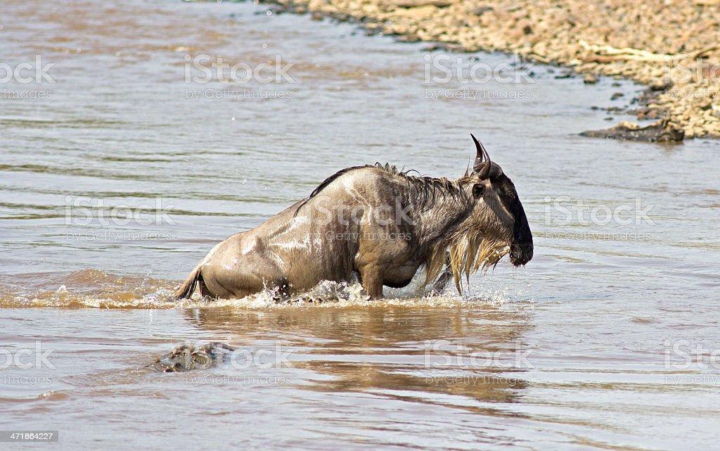 Wildebeest and crocodile royalty-free stock photo