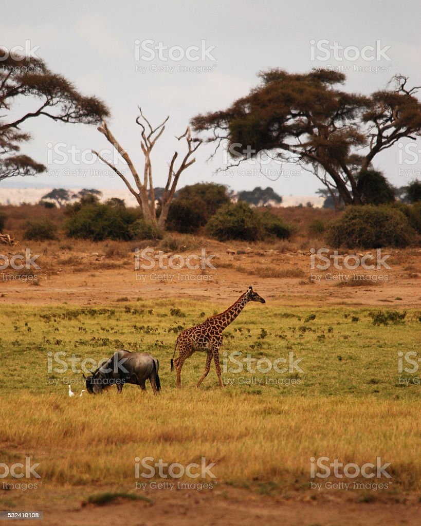 Wildebeest and Giraffe stock photo