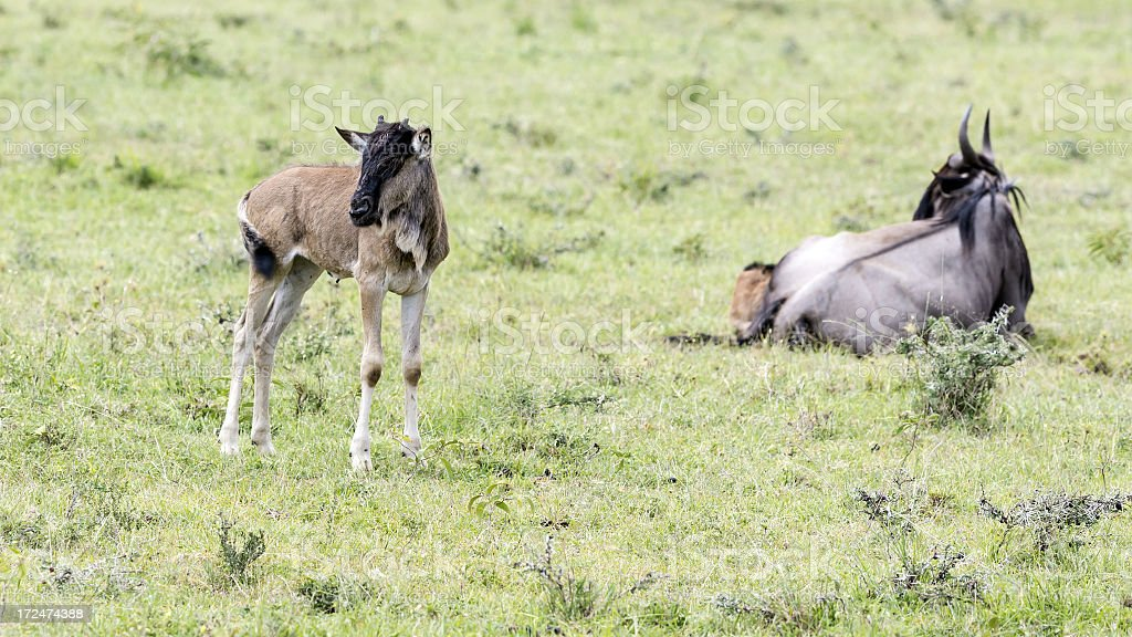 wildebeest and its baby royalty-free stock photo