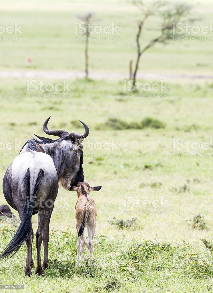 wildebeest and its baby - real love stock photo