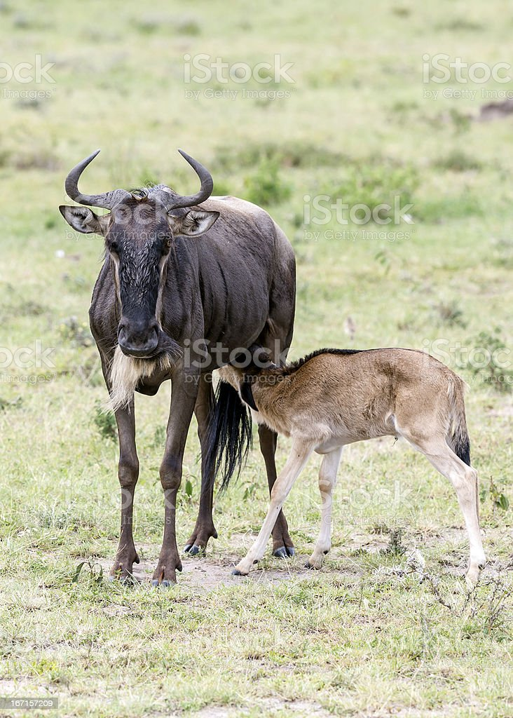 wildebeest and its baby - suckling / real love royalty-free stock photo