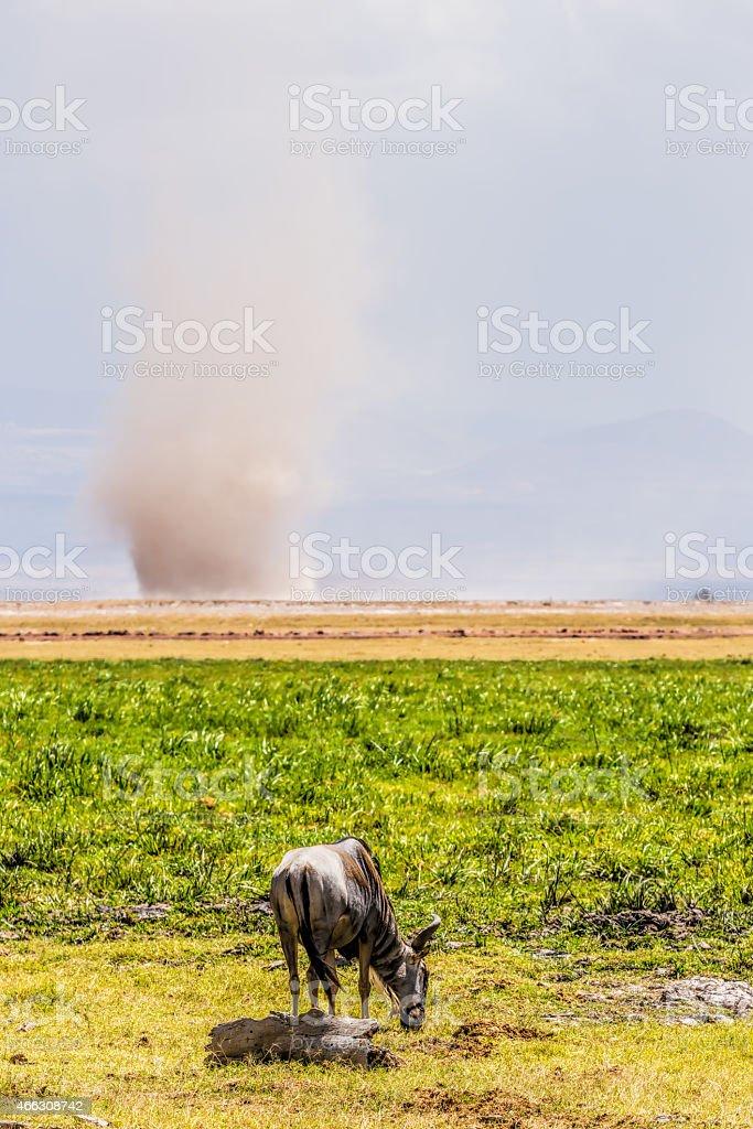 wildebeest and sandstorm stock photo