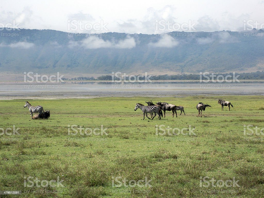 Wildebeest and Zebras on a plain stock photo