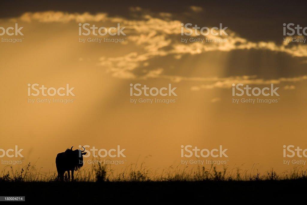 Gnou au coucher du soleil photo libre de droits