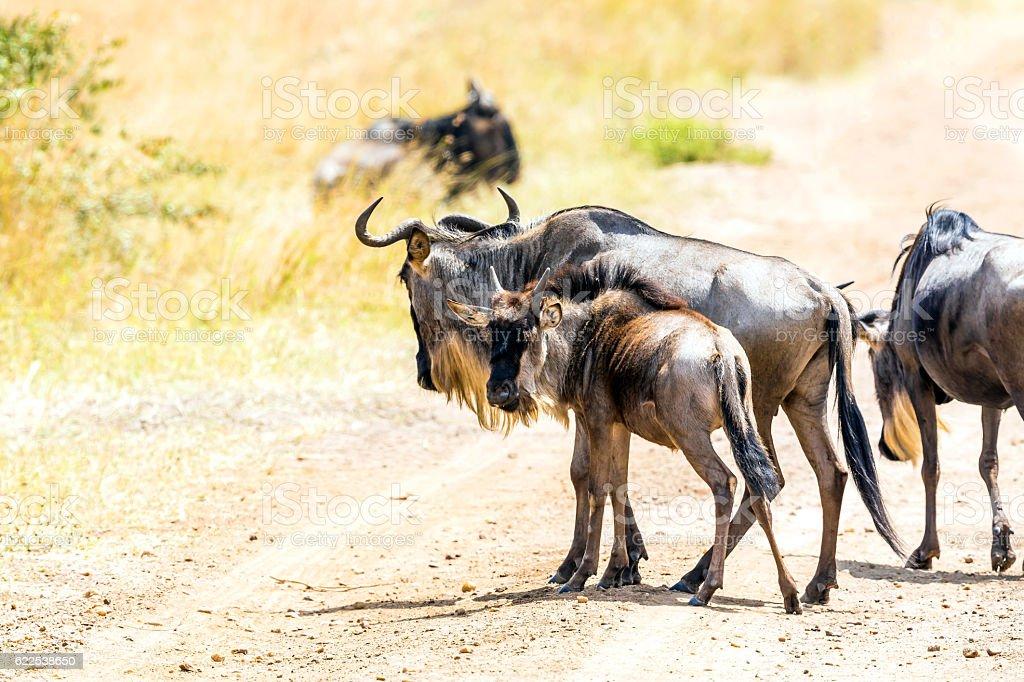 wildebeest calf looking at camera stock photo