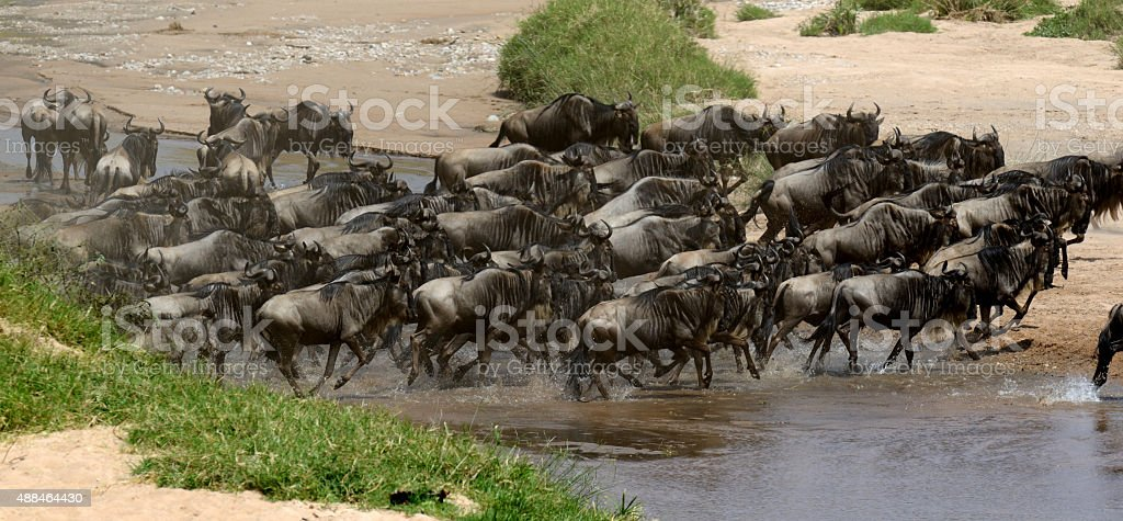 Wildebeest cross a river while migrating stock photo