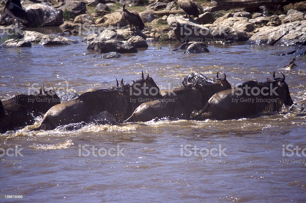 Wildebeest crossing river royalty-free stock photo