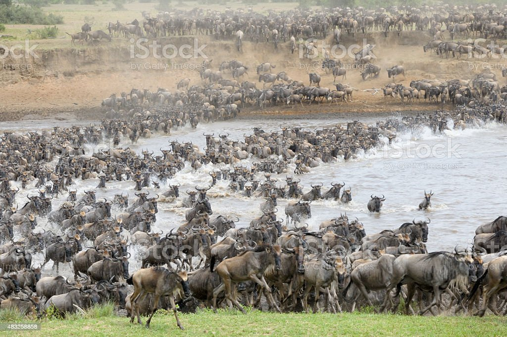Wildebeest crossing the Mara river stock photo