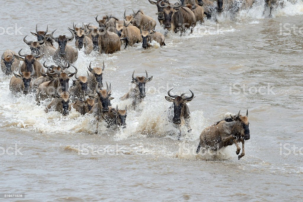 Wildebeest crossing the Mara river stock photo