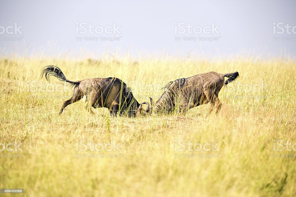 Wildebeest Fighting for female stock photo