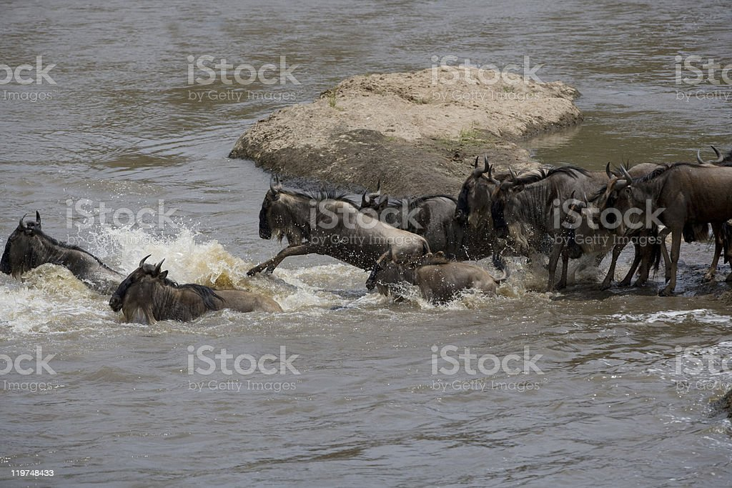 Wildebeest herd crossing the Mara river stock photo