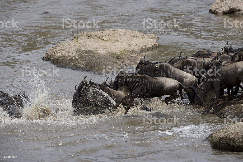 Gnou troupeau traverser la Rivière Mara photo libre de droits